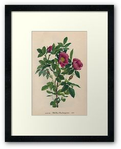 Wild Rose Downloadable Vintage  Art Print by UrbanDigitalArt