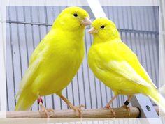 Deux canaris ensemble