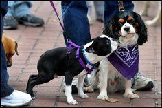 Boston Terrier & Cavalier King Charles Spaniel