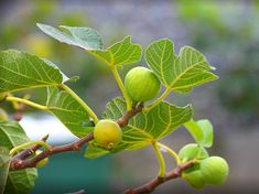 Here is a guide to North American Cottonwood tree identification - Eastern cottonwood, black cottonwood, and Fremont cottonwood. Agave Americana, Tree Identification, 10 Tree, Great Lakes Region, Palmiers, Urban Setting, Growing Tree, Plantation, Small Trees