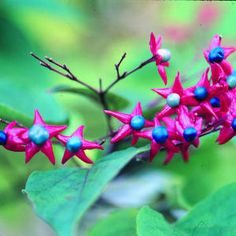 8 plants with cool-season berries | Harlequin glorybower (Clerodendrum trichotomum) | Sunset.com