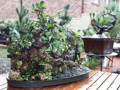 This is one of Mr Nguyen's fig bonsai.