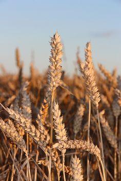 Gewone tarwe (Triticum aestivum) is een van de voornaamste granen waar de mensheid zich mee voedt, naast rijst en maïs. De wereldproductie van tarwe bedraagt waarschijnlijk ongeveer 683.000.000.000 kilo in 2013... Tarwe is een van de oudste door de mens gecultiveerde planten. Zo'n 10.000 jaar geleden moet dit begonnen zijn, in het Midden-Oosten en Afrika - van Syrië tot Kasjmir en Ethiopië.