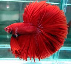 Red Crowntail Betta Fish - also known as Siamese Fighting Fish, the male Betta will attack another Betta (Male or Female) and has been known to attack similar-looking fish.