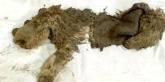 Scientists are going gaga over the recent discovery of a baby woolly rhino. The pristine specimen of the tiny extinct rhino--the only one of its type ever found--was discovered in permafrost along the bank of a stream in Siberia's Sakha Republic,. Baby Rhino, Recent Discoveries, Dinosaur Fossils, Extinct Animals, Prehistoric Creatures, Rhinoceros, Archaeology, Science Nature, Mammals