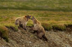 Two young brown bears fight on a rainy morning in Alaska in this National Geographic Your Shot Photo of the Day. Photographie National Geographic, National Geographic Photography, Grand Canyon Snow, Alaska, Crane Dance, National Geographic Photo Contest, Rainy Morning, Synchronized Swimming, Dance Images