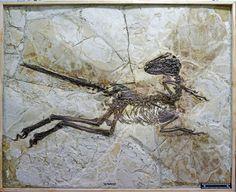 Phenomena.NationalGeographic.com/*** The skeleton of Zhenyuanlong, surrounded by feathers. Courtesy Stephen Brusatte.