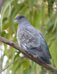 Birds In Focus provides top-quality avian images through a fast, dynamic search interface. Beautiful Birds, Animals Beautiful, Cute Animals, Garden Animals, Nature Animals, Brazil Chile, Dove Pigeon, Bird Identification, Any Birds