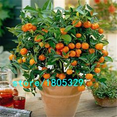 100pcs Edible Fruit Mandarin Bonsai Tree Seeds, Citrus Bonsai Mandarin Orange Seeds #>=#>=#>=#>=#> Click on the pin to check out discount price, color, size, shipping, etc. Save and like it!