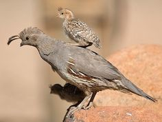 Gambel's Quail (Callipepla gambelii), female with chick on her back. This is a bird of the desert, common in much of the southwest USA, particularly southern Arizona and New Mexico. Gambel's quail look like the more widespread California Quail, but the two species' ranges do not overlap. Photo: Ned Harris