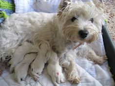 .Westie Quintuplets - I want them all.