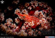 juvenile hawkfish