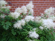Aruncus dioicus.. mine is planted in front of a brick chimney. Looks kinda like this