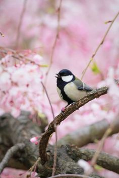 The Kimono Gallery Happy Spring, Hello Spring, Black Capped Chickadee, Spring Is Here, Life Is Beautiful, Bird Feeders, Cherry Blossom, Pretty In Pink, Birds