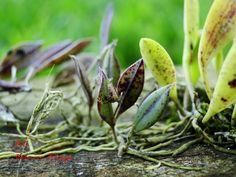 Acianthera variegata Endangered Plants
