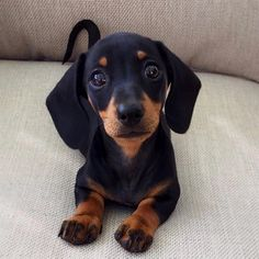 Dachshund puppy eyes - Cats and Dogs House Cute Dogs And Puppies, Baby Dogs, Pet Dogs, Pets, Doggies, Dachshund Breed, Dachshund Love, Black Dachshund, Cute Funny Animals