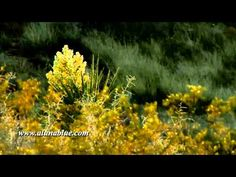 A cactus blooms in the California desert.     Purchase this clip from A Luna Blue:   http://www.alunablue.com/nature-stock-footage/desert-blooms/desert-blooms-01/clip-10.html     A Luna Blue Stock Video.   Imagery for Your Imagination.   http://www.alunablue.com