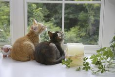 Because I've never allowed my cats outside, I've tried to give them the best and most stimulating indoor experience possible. Windows are a big part of my cats' lives. Most of my cats love looking out windows. Keiran was the exception. When we rescued him, he had no interest in looking out windows. That has …