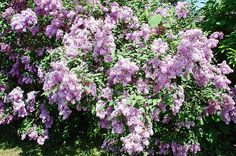Lilac bushes by Aimee L Maher