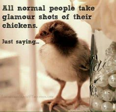 'Tis the season for spring chicks and I have been on the hunt. I visited two local feed stores. The first had beautiful baby chicks, just. Chicken Quotes, Chicken Signs, Chicken Humor, Baby Chickens, Raising Chickens, Chickens Backyard, Keeping Chickens, Chicken Chick, Chicken Lady