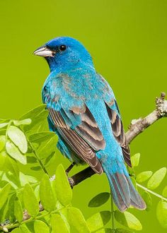 Indigo Bunting by Paul Sparks