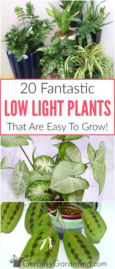 There is no such thing as real indoor plants that grow in complete darkness, but there are lots of good indoor plants that grow in low light conditions. Many of the common houseplants you can buy are low light indoor plants, and they're easy to grow too! Here's a list of my top picks for the best houseplants for indirect light areas of your home.