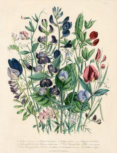 vintage botanical prints | Antique Botanical Prints from Jane Webb Loudon