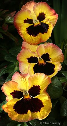 ~~A Row of Pansies by Ellen Devenny~~