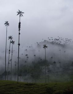 World's Tallest Palm Tree Forest in Colombia