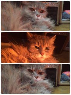 愛猫さくら姫|SHOOP+FACTORY(シュープ・ファクトリー)@オーナーブログ-67ページ目
