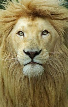 Leo the Lion... Isn't he beautiful??? :)