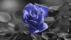 Blue rose - Flowers Wallpaper ID 953113 - Desktop Nexus Nature