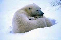 polar bear mother   Polar Bear Mother and Cubs, Churchill, Canada - ID: 7664826 © Jane ...