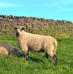 """""""This powerful homebred Teeswater shearling tup looks ready for work this autumn. Sheep Farm, Sheep And Lamb, Cute Animal Pictures, Animal Pics, Barnyard Animals, Cute Animals, Country Life, Country Living, Raising Farm Animals"""