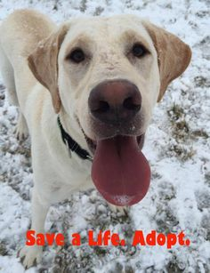 Adoption saves lives  Don't Shop- ADOPT!  http://lab-rescue.org #lab #rescue #adopt