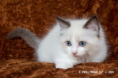 2014: Fillmore A Zwollywood Cat. 9  Weeks old Ragdoll kitten, seal bicolour. Cars litter.
