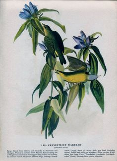 Old 1941 Antique Vintage Book JOHN JAMES AUDUBON Birds of America Bookplate based on Water-color Painting Plate Connecticut Warbler 138