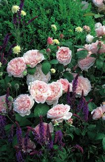 Great list of companion plants for roses http://www.heirloomroses.com/care/companion-planting-with-roses/