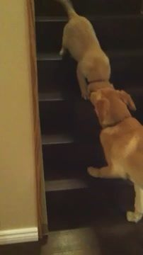 Dog Teaches Puppy to Walk Downstairs. This has to be the cutest thing I've seen in  quite a while!