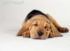 Bloodhound puppy, SO cute! bloodhound puppy sleeping Source by peacelovecour The post bloodhound puppy sleeping appeared first on McGregor Dogs. The Bloodhound Gang, Bloodhound Puppies, Beagle Dog, Beagles, Cute Puppies, Dogs And Puppies, Doggies, Sleeping Puppies, Large Dogs