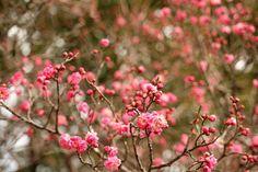 Plum tree by Kazuo Ishikawa - Photo 195467667 / 500px