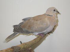 Dove - Laughing Laughing, Birds, Animals, Animaux, Bird, Animal, Animales, Smile, Animais