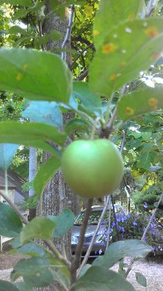 Our 1st apple tree!