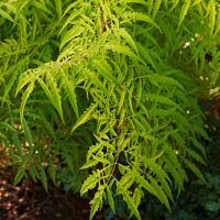 Tiger Eye Sumac, dwarf, full sun for brightest chartruese color. Plant in groupings.