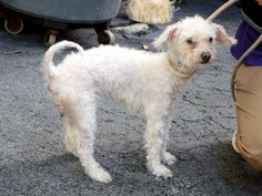 SUPER URGENT 8/23/14 Manhattan Center ELMO - A1011549 FEMALE, WHITE, POODLE TOY MIX, 10 yrs STRAY - STRAY WAIT, NO HOLD Reason STRAY Intake condition GERIATRIC Intake Date 08/22/2014, From NY 10469, DueOut Date 08/25/2014, Medical Behavior Evaluation GREEN Medical Summary Scanned negative QARH Svere dental tartar Allows