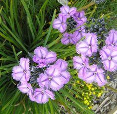 Thysanotus-multiflorus 'Fringe Lily'
