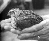 Coturnix Quail - info on sexing