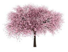 Naklejka na Ścianę Kwaśne wiśniowe drzewo na białym tle
