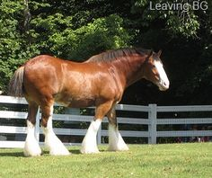Clydesdale Horse | ... be that the iconic clydesdale horses will be moved from the parks and