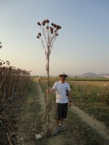 Cardoon (Cynara cardunculus L.) is a deep rooting, perennial (10-15 years) crop that produces high biomass yields (15-20 t/ha dry matter) on an annual basis.